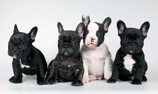 Покупая щенка французского бульдога определитесь для каких целей вы его приобретаете - выставка или, как компаньона