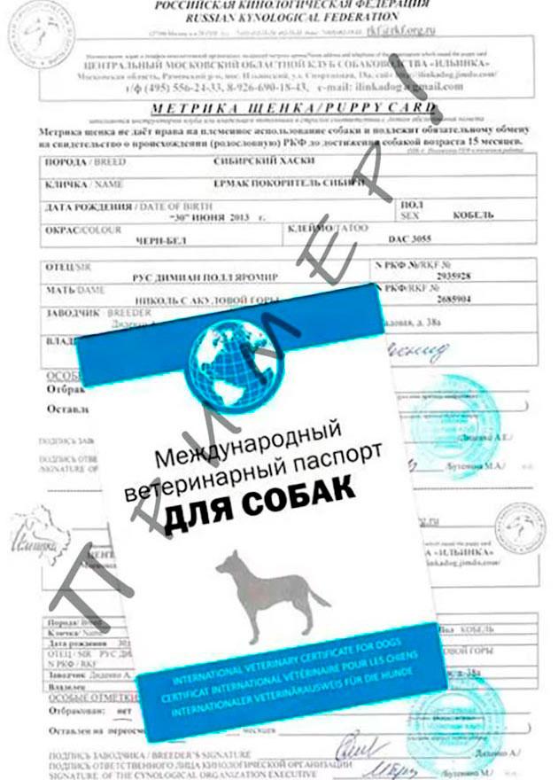 При покупке щенка французского бульдога обязательно проверяйте все документы