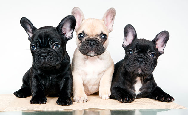 При выборе клички ориентируйтесь на окрас щенка французского бульдога и как он себя при этом ведет