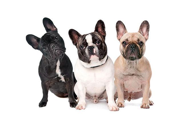 Окрас не влияет на уход за французским бульдогом, поэтому выбирайте по вкусу, но учитывайте так же для каких целей приобретается собака