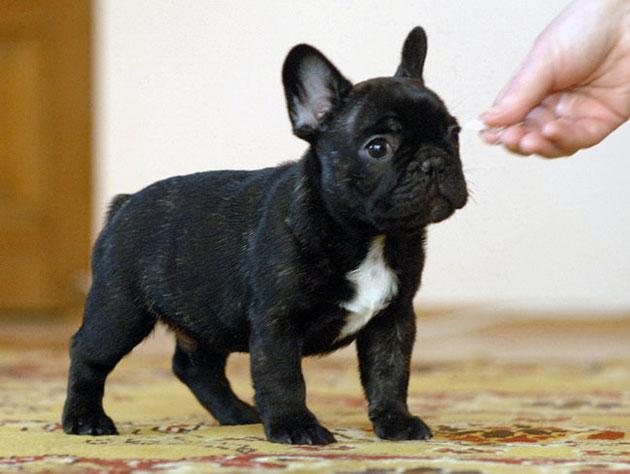 Кормление щенка французского бульдога самый важный период, к которому необходимо подойти со всей ответственностью