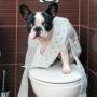 Приучаем французского бульдога к туалету