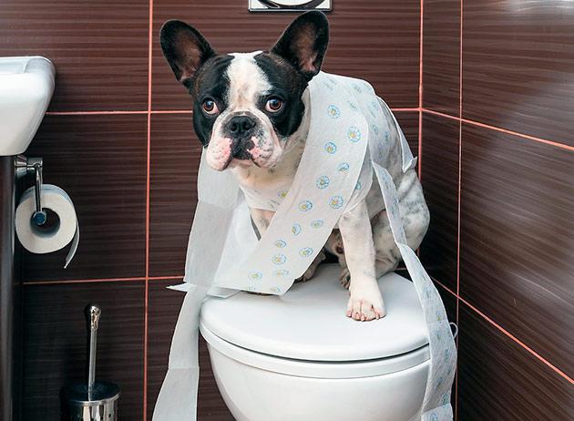 Что бы приучить французского бульдога к туалету необходимо установить лото и поддон