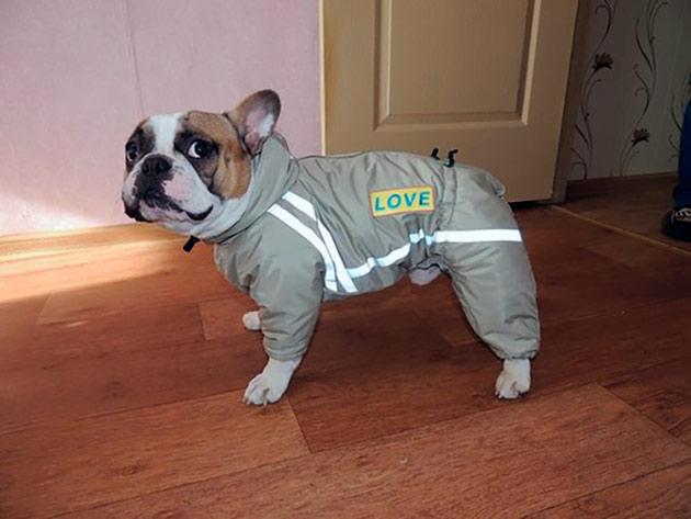 В прохладное или дождливое время, рекомендуется одевать французского бульдога в комбинезон