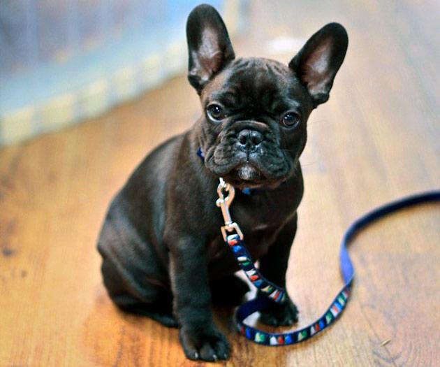 Если французский бульдог пухлый из-за этого может быть причиной дерматитов, чем у поджарых собак