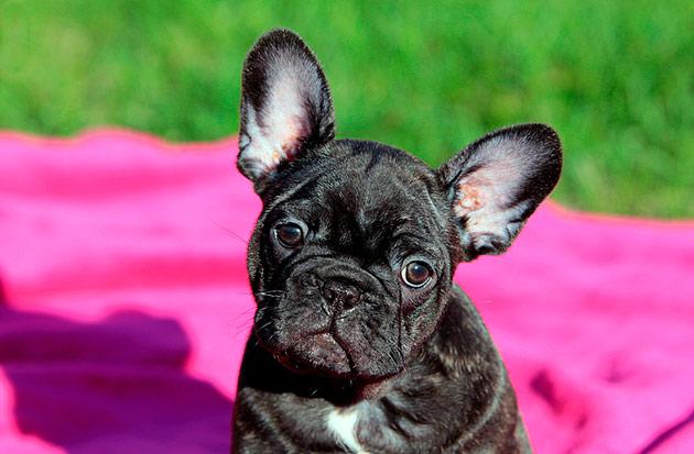 Во время сделанные прививки - залог здоровья щенка французского бульдога