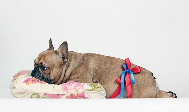 Если признаки беременности у французского бульдога продолжаются длительное время без родов - необходимо обратится к ветеринару